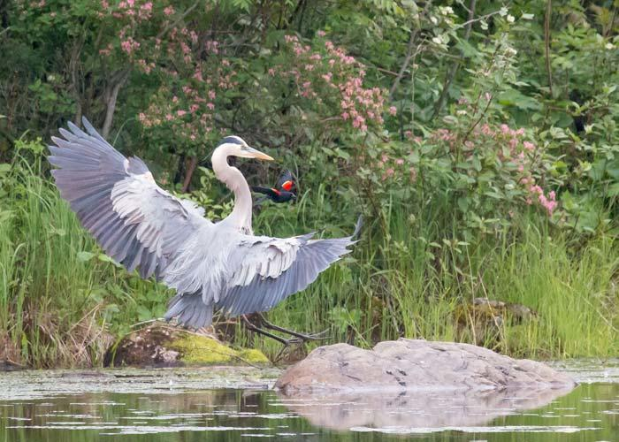 blue heron and black winged blackbird
