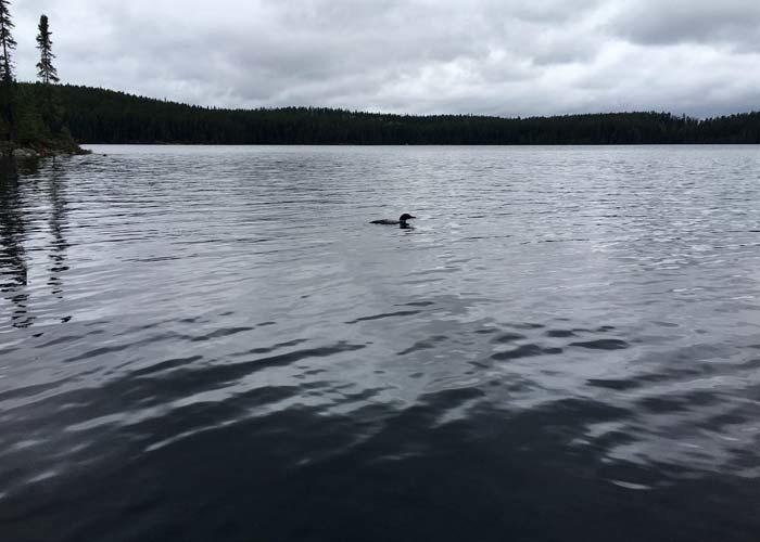 northern ontario loon