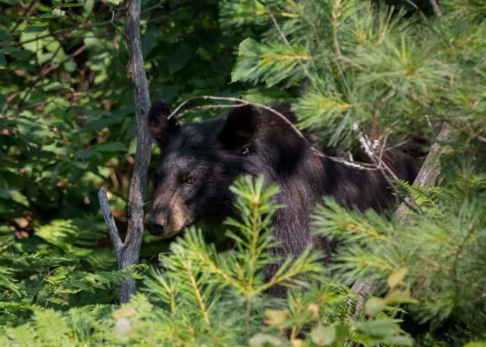 northern ontario black bear